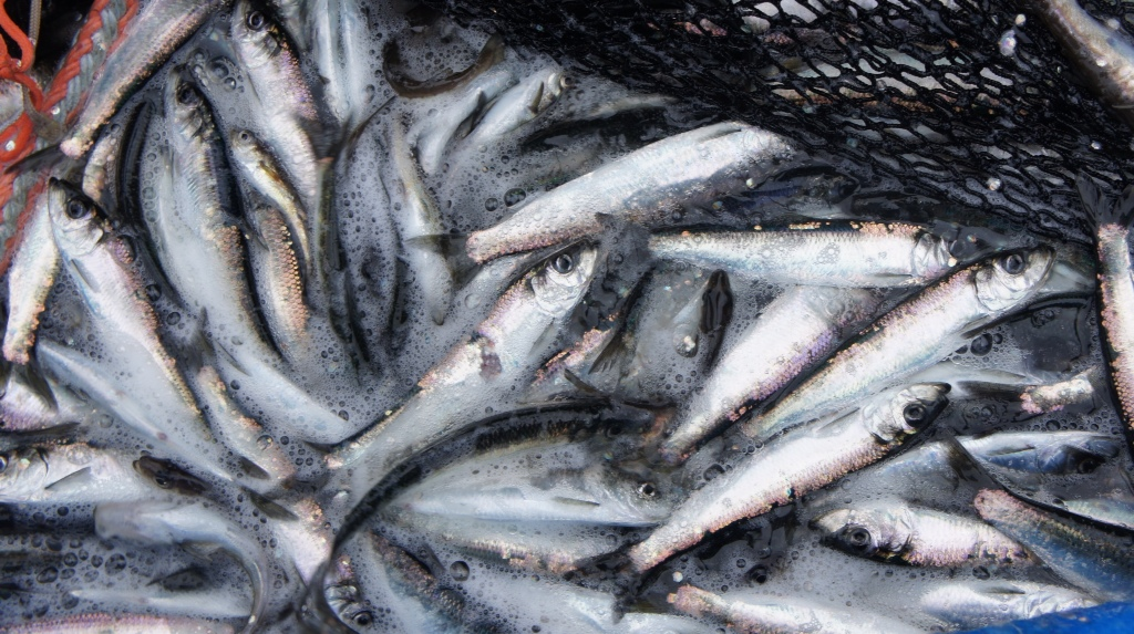 Commercial Fishing Photo Of The Day | First Herring Set Of The Season