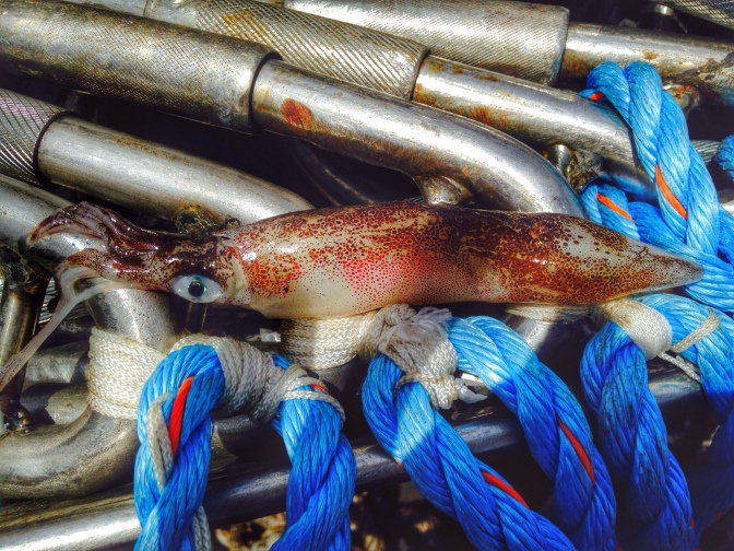 Commercial Fishing Photo Of The Day | Squid Time In Cali
