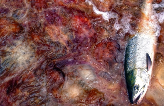 Commercial Fishing Photo Of The Day | Chum Fishing | Hidden Falls 2014
